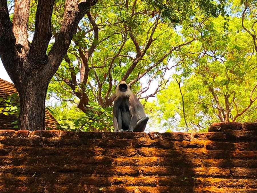 Aapje-Polonnaruwa