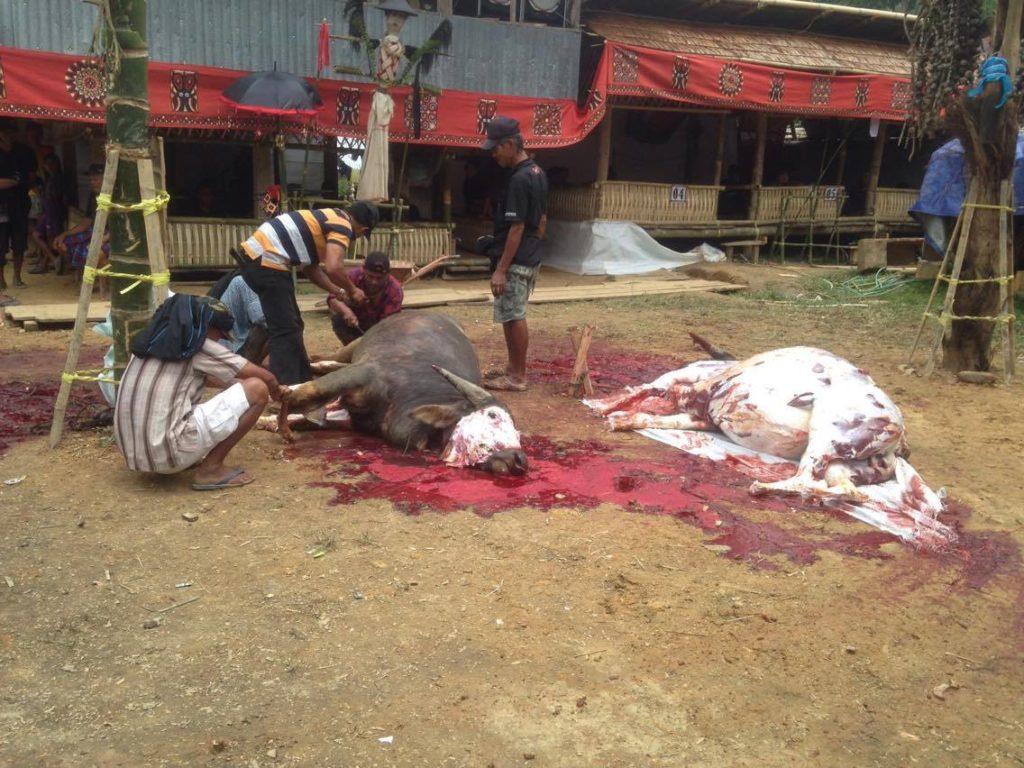 Tana Toraja waterbuffels