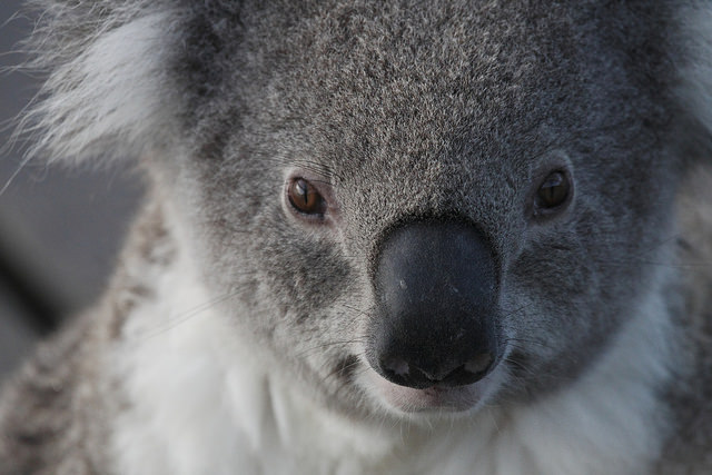 Koala Lorne