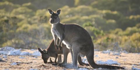 Kangaroo Island kangoeroes