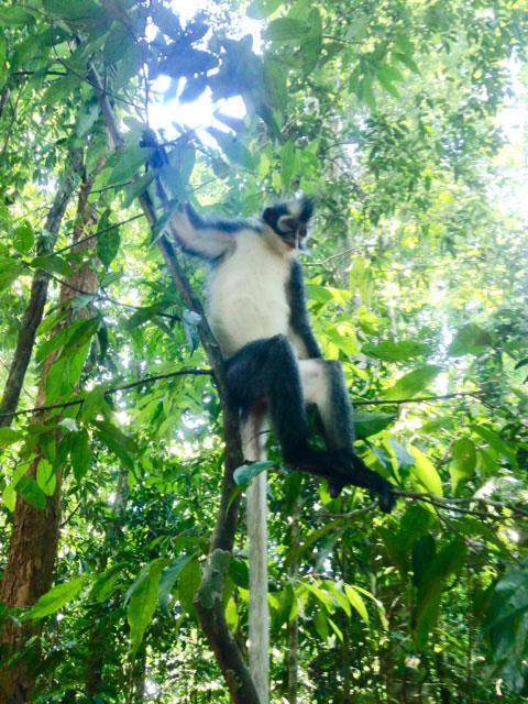 Dezelfde Thomas leaf monkey poserend op een boom