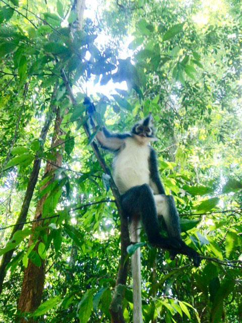 Ook deze Silver leaf monkey spotten we in het wild