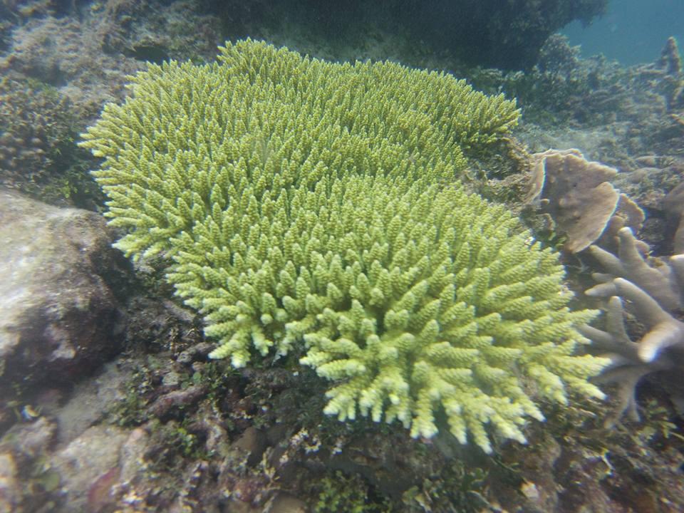 karimunjawa-koraal