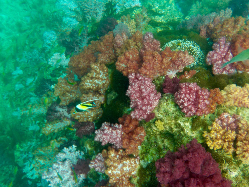 Jabang-koraal