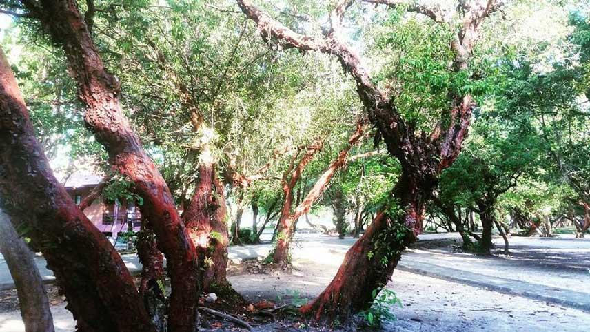 Koh-Tarutao-rode-bomen