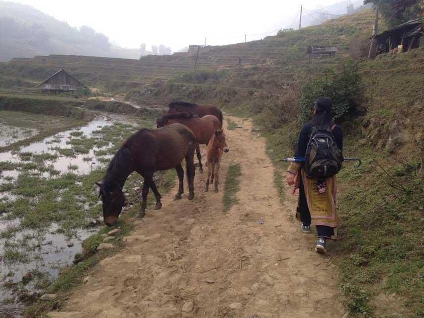 Paarden in Sapa