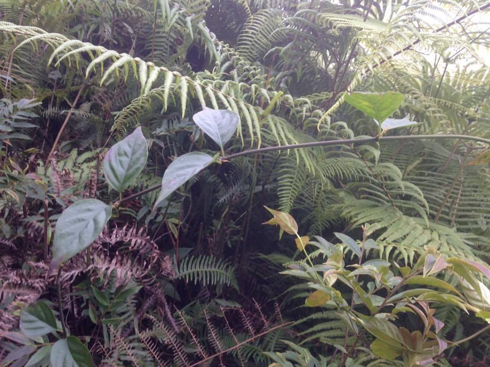 Sapa Trekking giftige plant