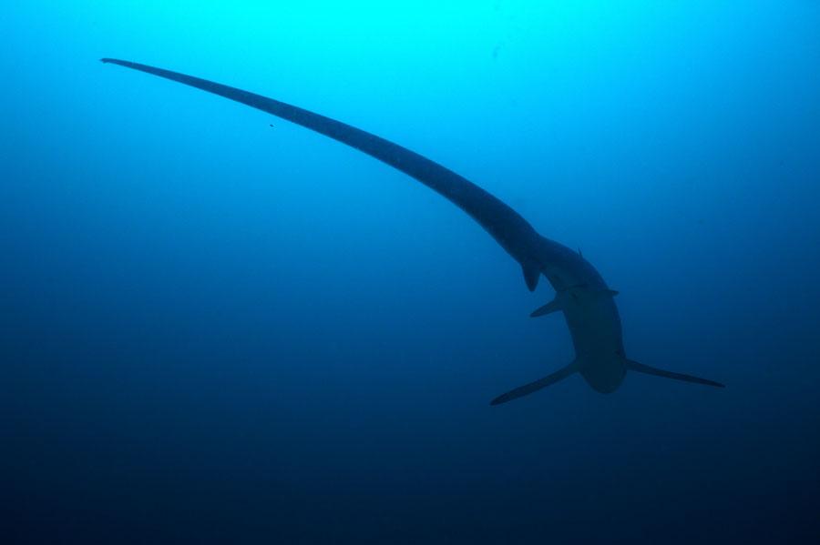 Tresher shark Malapascua