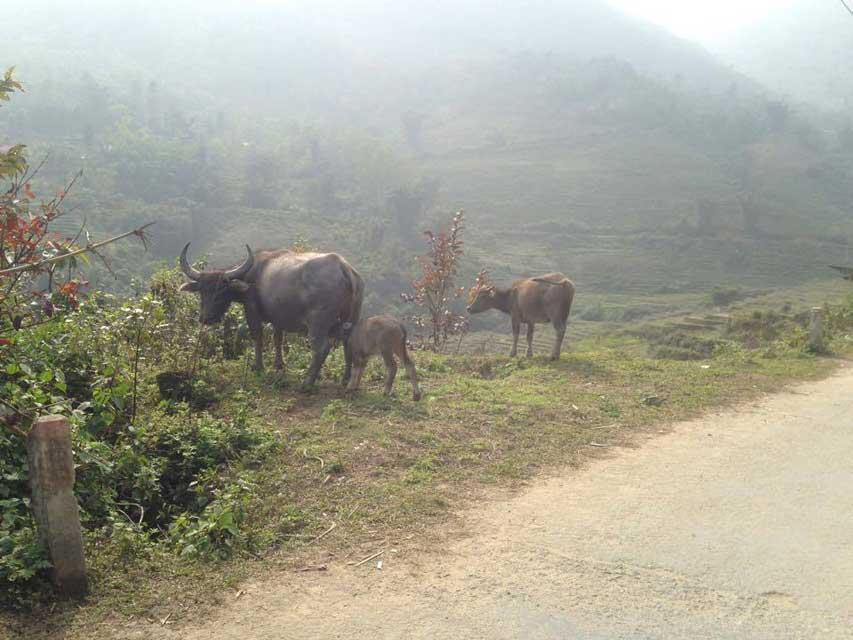 Waterbuffels-Sapa