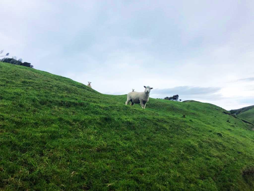 Green-Hills-Track-schapen