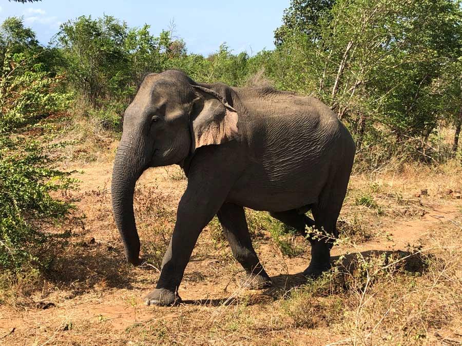 Udawalawe-olifant-2